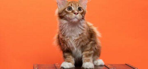 Выставка-показ кошек и котят всех пород в Кармиэле! в Израиле