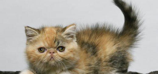 Выставка кошек и котят в Кармиэле!