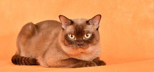 В субботу в Бат Яме международная выставка кошек и котят