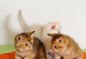 Выставка кошек и котят — Новогоднее чудо — праздник для участников и зрителей в Израиле