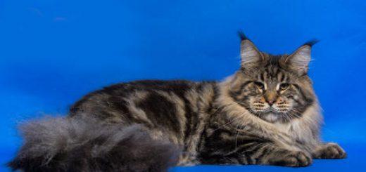 Коты-гиганты в субботу в Хайфе