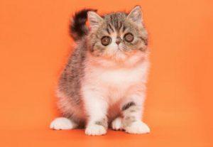 Большая международная выставка кошек и котят всех пород в Петах Тикве в Израиле